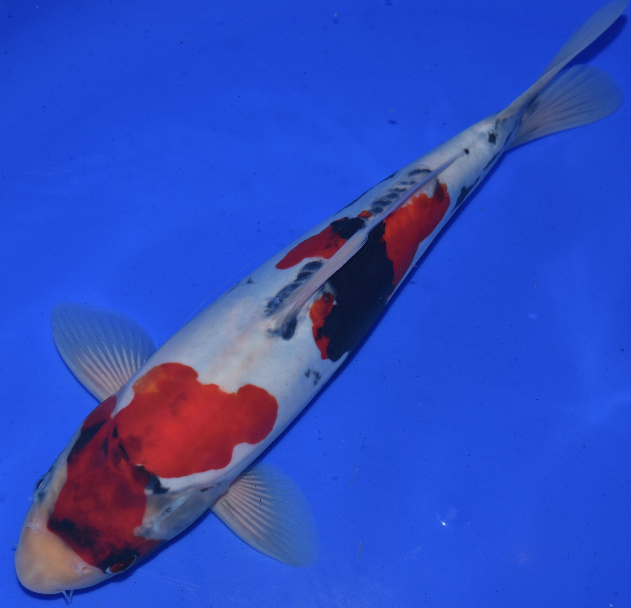 Doistu sanke for Sanke koi for sale