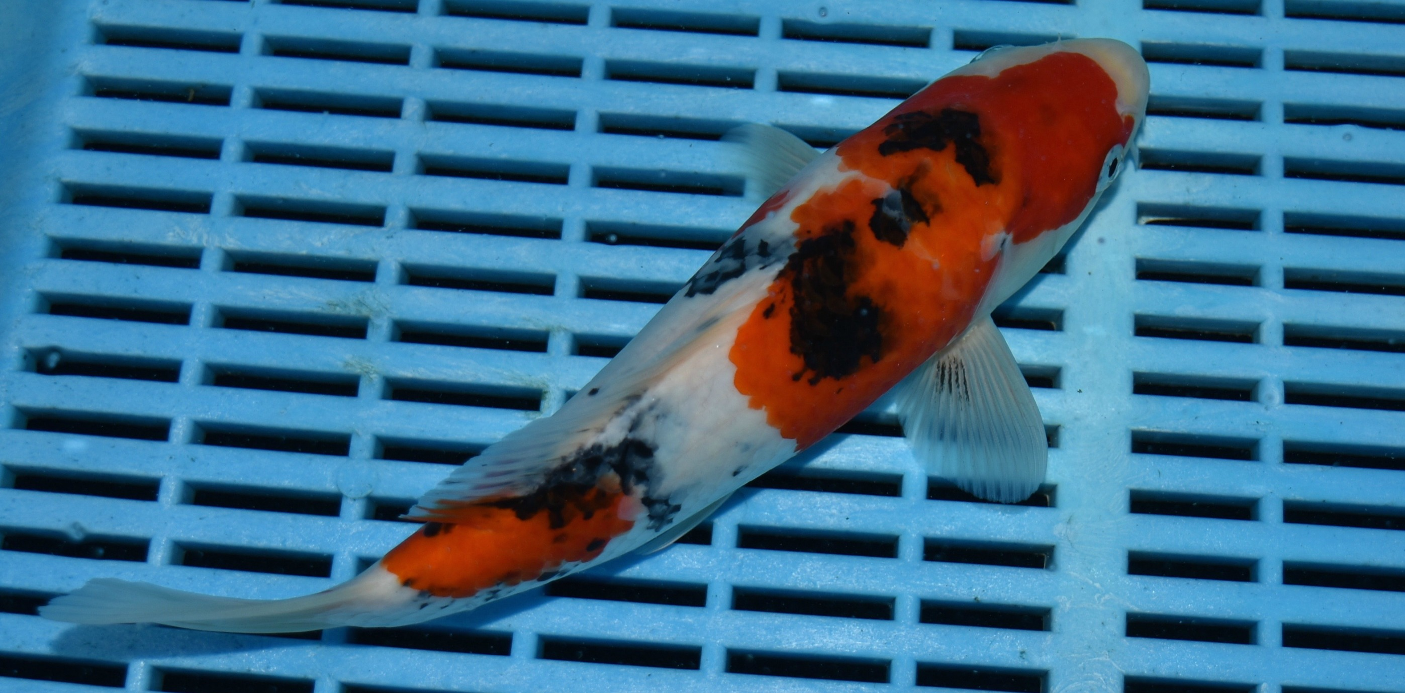 Sanke 201610 for Sanke koi for sale