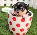 Pup in a cup - Babingtons