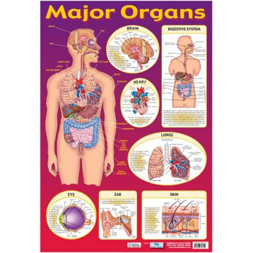 Major Organs Poster